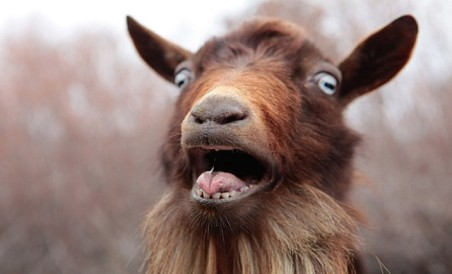 shocked-goat-640x388