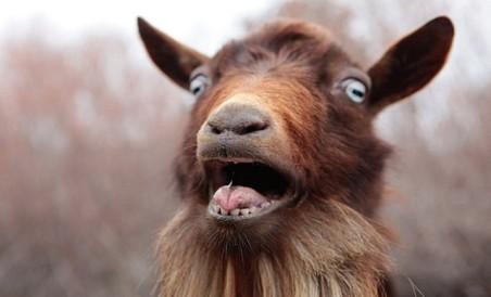shocked-goat-640x388